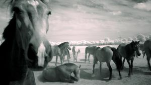 Horses II - infrared ... by MichiLauke