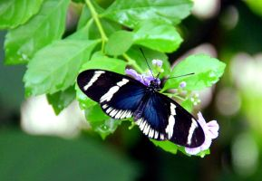 Heliconius Sara by TheSleepyRabbit