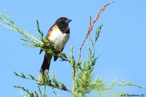 Treetop Towhee by natureguy