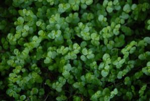 Clover by HoldFastStock