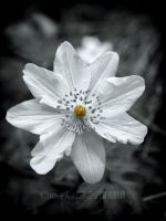 Wood anemone by makn321