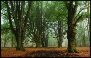 Old beech-trees in the mist by jchanders