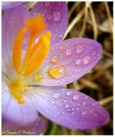 Colorful Crocus by Jenna-Rose