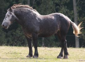 Percheron Stallion Stock by AdeliePenguin