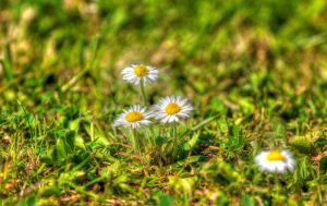 Daisy in the heat of noon by chevyhax