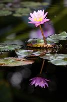Water Lily by secondclaw