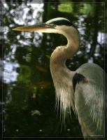 Great Blue Heron 20D0049560 by Cristian-M