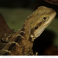 Australian Water Dragon by In-the-picture