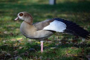EGYPTIAN GOOSE by major-holdups
