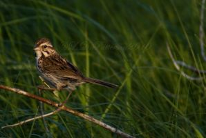 Song Sparrow by sillverrfoxx
