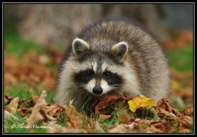 Raccoon 4 by Ptimac