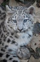 Snowleopard, Stuttgart VII  #CUB VERSION by FGW-Photography