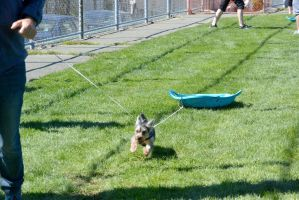 2014 Dog Festival, The Dog Sled Pull 6 by Miss-Tbones