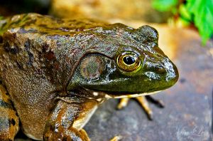 Bull Frog Close by MiaLeePhotography