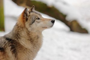 Wolf Face 1 by landkeks-stock