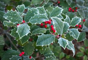 Frost on the Holly by muffet1
