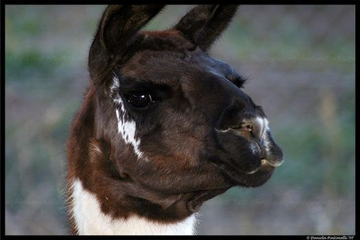 Llama by TVD-Photography
