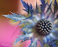 Eye of thistle by Kunsha