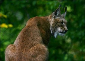 Lynx II by Parides