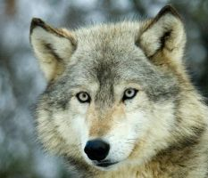 the eyes of the wolf. by pauleskew