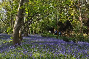 Bluebell Wood by Chihito
