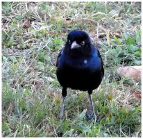 Psycho Grackle by SalemCat