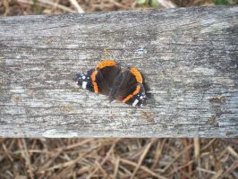 Butterfly 2 by Kaikoura