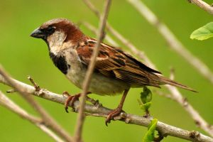 Sparrow or finch? - Easter Island by wildplaces