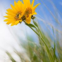 Sunflowers and Sky by jessespeer