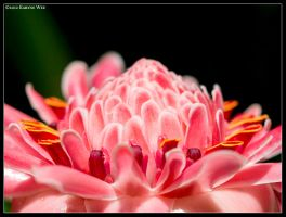 Torch Ginger Flower by Kogata-Yatsura