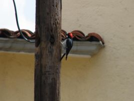 woodpecker by charlieest