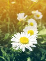 Leucanthemum (White Daisy) by theperfectmind
