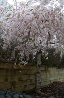 Weeping Cherry Tree by lsax001