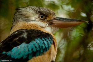 Blue Winged Kookaburra by daniellepowell82