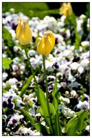 Yellow Spring by CaosSpain