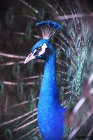 peacock by CC-PhotoArt