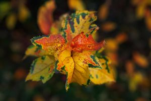 Leaves Of Autumn by PenguinPhotography