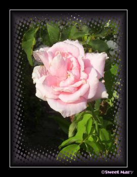 Pink Rose With Water by SweetMarysPhotos