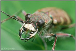 Cicindela hybrida by Dark-Raptor