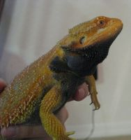 orange bearded dragon 5 by twyliteskyz