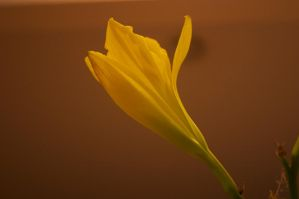 Yellow Lily 3.1 by frisbystock