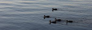 Get Your Ducks In A Row by LifeThroughALens84