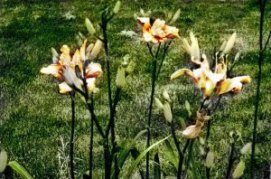 Lilies in a row 2 by WiccanSilver