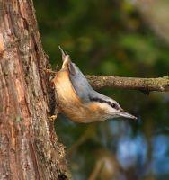 Wood nuthatch by starykocur