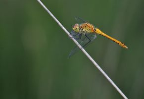 Ruddy Darter by freekyy