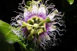 Passion Fruit Flower: Fruiting Vine by MatureContntFilterOn