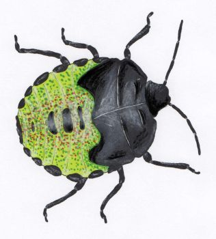 Shieldbug by kameelperd