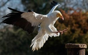 Egyptian Vulture by Yslen