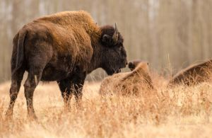 Wood Buffalo - Mother's Call by JestePhotography