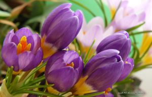 crocus by andi40
